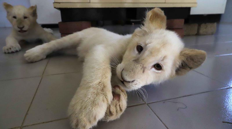Sábado inicia exhibición de leoncitos blancos en Zoo del Altiplano