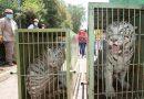Llega pareja de tigres de bengala blancos al Zoológico de Tlaxcala
